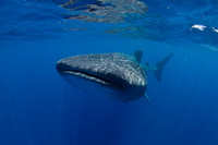 Whale Sharks in Isla Mujeres, Mexico
